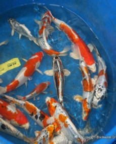 Southeast koi for Green koi fish for sale